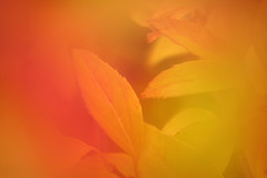 Autumn Leaves Impressions (gripspix (Off 4 Recovery)) Tags: 20161017 leaves blätter laub autumn herbst autumnleaves herbstblätter impressions impressionen colorful bunt