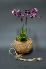 DSC_0156_2048 (a.marquespics) Tags: d610 nikon orchid orqudea mini tiny small coconut coco flor flower planta plant purple nature sombras shadows myorchids