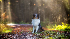 Good Boy (Bokehschtig (ON/OFF)) Tags: australianshepherd shepherd bordercollie merle bluemerle dog canine hund bokeh depthoffield dof bokehlicious shallowdepthoffield sonya7markii sonya7ii sonya7m2 canonef7020028lisiiusm canon dogportrait waiting truelove souldog faith