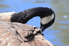Canada Goose (careth@2012) Tags: goose canadagoose nature wildlife waterfowl beak feathers