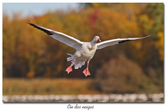 Oie des neiges / Snow Goose 153A9210 (salmo52) Tags: oiseaux birds salmo52 alaincharette chencaerulescens oiedesneiges snowgoose rservoirbeaudet victoriaville anatidae anatids