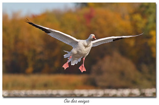 Oie des neiges / Snow Goose 153A9210