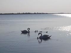 The Swans of Rusanda (L.L.V.) Tags: rusanda lake banja spa melenci vojvodina srbija serbia national park birds nature beautiful extraordinary lovely travel tourism destination