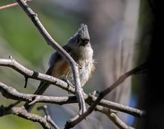 Tufted titmouse (johnny4eyes1) Tags: birds titmouse wildlife nybotanicalgarden nature