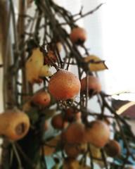 Nespola Europea.  #nespola #europea #fruits #healtyfood #love (elisabaldini) Tags: fruits love healtyfood nespola europea
