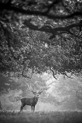 Red Deer - Calling Under Trees (Old-Man-George) Tags: animal cervuselaphus deer georgewheelhouse places woburn bedfordshire mammal nature reddeer rut wildlife wwwgeorgewheelhousecom d885535 blackwhite stag male