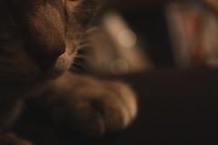 Max (jdawn1982) Tags: max cat kitty pet woodwardok woodwardcounty oklahoma november2016 project365