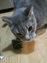 You will not take the chard from me (andrea z) Tags: percy cat graycat chard grimalkin