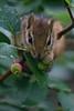 Lunch (Bloui) Tags: 2016 botanicalgarden eos7d jardinbotanique july marrais montréal québec animal tamia tamiarayé tamiasstriatus easternchipmunk chipmink eating tree