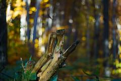 DSC00684 (gabriella.lavati) Tags: sony a6000 schneider kreuznach xenon edixareflexversion m42 50mmf19 manualfocus manual mflens nature spring color forest wood leaves bokeh bokehdream