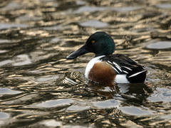 Shoveler (2) (grahamh1651) Tags: helstonboatinglake birds gulls ducks geese waterbirds swans