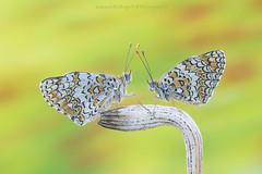 Two... (Samuele81) Tags: two melitaea macro macrofotografia butterfly farfalla farfalle nikon ngc tamron 90mm natura nature