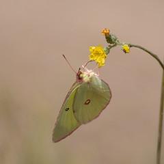 073 Pink-edged Sulphur_5607 ( Colias interior ) (agawa2yukon) Tags: pieridae coliadinae lepidoptera butterflies butterfly michigan
