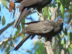 Corcorax melanorhamphos 10 (barryaceae) Tags: barraba nsw australia bird birds aves australianbirds ausbirds ausbird whitewinged chough corcorax melanorhamphos tarpolytravellingstockreserve