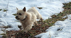 Jeter - 11/28/16 (myvreni) Tags: vermont autumn fall nature animals dogs cairnterriers pets