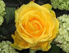 Lob von uns allen dem ewigen Knig (amras_de) Tags: rose rosen rua rosa rue rozo roos arrosa ruusut rs rzsa roe rozes rozen roser rza trandafir vrtnica rosslktet gl blte blume flor cvijet kvet blomst flower floro is lore kukka fleur blth virg blm fiore flos iedas zieds bloem blome kwiat floare ciuri flouer cvet blomma iek