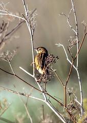 Gorrion (ibzsierra) Tags: ibiza eivissa baleares canon 7d 100400isusm gorrion ave bird ouseau salinas parque natural