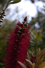 tower (Magdelaine L Photography) Tags: bottlebrush flower tree bokeh sky plants nature leaves raw rawphotography photography sonydslr sony dslr