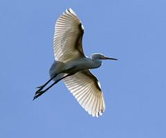 Wing Spread Egret (explore 9/1/15) (Darts5) Tags: bird birds closeup canon egret greategret egrets whitebird whiteheron 7d2 7dmarkii canon7d2 canon7dmarkii 7dmarkll canon7dmarkll ef100400mmlll ll7d 7d2canon