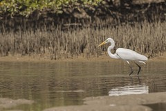 Eastern Great Egret with Fish (Geoffsnaps) Tags: fish nature ed nikon kayak with head d 4 great beak feathers panoramic 300mm ardea nsw if newsouthwales mirage outback carbon redrock nikkor fx eastern egret f4 gitzo hobie afs monopod acratech f4d d810 modesta corindiriver nikond810 ardeamodesta easterngreategret gm5541 gitzogm5541carbonmonopod nikonnikkor300mmf4difedafs acratechpanoramichead hobiemirageoutbackkayak