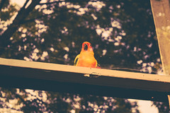 September 1, 2015 (liz.kyle) Tags: blue trees orange black color reflection green bird window glass animal yellow sitting bokeh beak feathers parrot mango windowsill sunconure