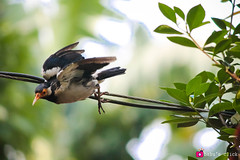 IMG - 5421025 (Cryptic Boy) Tags: bird nature pakhi shalik