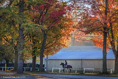 A Fall Morning at the Oklahoma Track (Samantha Decker) Tags: autumn horse ny newyork fall upstate saratogasprings nyra canonef135mmf2lusm oklahomatrack canoneos6d samanthadecker