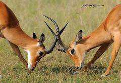 JHG_8944-b Impala male battle for the rights to take over the harum. Masai Mara, Kenya. (GavinKenya) Tags: africa wild nature animal june john mammal photography gavin photographer kenya african wildlife july grand safari dk naturephotography kenyasafari africansafari 2015 safaris africanwildlife africasafari johngavin wildlifephotography kenyaafrica kenyawildlife dkgrandsafaris africa2015 safari2015 johnhgavin