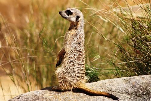 Taronga Zoo - Meerkat