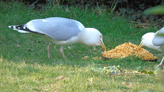 BREAKFAST IS THE NEW DINNER (poppycocqu) Tags: family seagulls grass birds breakfast dinner eating meal cornflakes