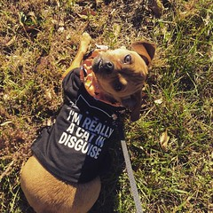 """Mesa's """"Dog"""" Costume (jstravelchannel) Tags: dog chihuahua halloween puppy square cosplay pug squareformat crema mesa toydog dogsincostume iphoneography instagramapp"""