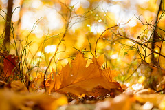Autumn 1/2 (derliebewolf) Tags: wood autumn detail tree fall nature forest leaf woods bokeh hiking herbst natur 50 leafs wald d600 bokehlicious 50mmf18g magicfifty