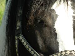 Wonderful Black (Clerss Malisha) Tags: horse cute animal animals mammal mammals cavallo animali animale tierno tenero mammifero mammiferi