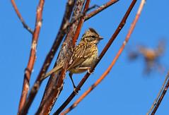 CHINGOLO. (jagar41_ Juan Antonio) Tags: animal aves ave pajaros animales pajaro chingolo