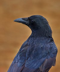 Carrion crow (corvus corone) (pierre_et_nelly) Tags: corneille crow cornella corvus carrioncrow corvuscorone cornacchia gralhapreta rabenkrhe corneillenoire aaskrhe cornejanegra cornacchianera cornellanegra
