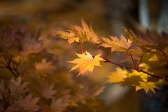 Autumn leaves - Karlstad stadstrdgrd (- David Olsson -) Tags: autumn oktober fall nature leaves yellow landscape nikon october sweden outdoor karlstad fx 70200 f4 vr hst 70200mm vrmland 2015 stadstrdgrden 70200vr davidolsson stadstrdgrd