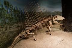 Dimetrodon (bichane) Tags: canada museum skeleton dinosaur royal exhibit drumheller alberta palaeontology tyrrell dimetrodon