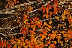 RED-YELLOW-ROSE-GREY-STICKS (Dan Creek) Tags: autumn red orange fall leaves alaska grey sticks autumncolors wrangellsteliasnationalpark dancreek