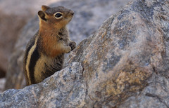 CHIPMUNK ON A ROCK (Wolf Creek Carl) Tags: nature animals outdoors nationalpark colorado wildlife ngc chipmunk npc rockymountain rockymountainnationalpark