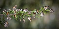 String of Monarchs (Steve Corey) Tags: bokeh flyinginsects droh temperatezone monarchbutterflys dailyrayofhope stevecorey pismobeachpreserve stringofmonarchs clusterofbutterflys