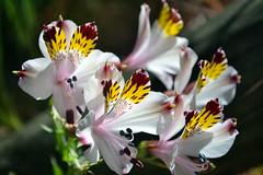 Alstroemeria / Lily of the Incas (jo.alvarezv) Tags: flowers flores backlight contraluz alstroemeria whiteflowers peruvianlily lilyoftheincas astromelia floresblancas