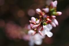 (Px4u by Team Cu29) Tags: bokeh frühling kirsche obstbaum zweig stbarbara kirschzweig rosengewächs