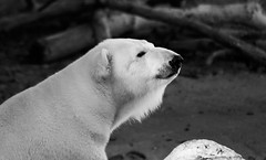 _DSC9042bw (KateSi) Tags: bear blackandwhite bw white black animals zoo oso colorado bears denver polarbear animales polar denverzoo bjorn ours osos isbjorn bjorner