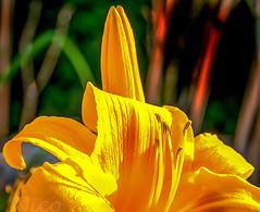 Flower, tiger lily, stamens DSC_6576 Fleur lis, étamines (Nicole Nicky) Tags: fleurlis étamines stamens lily tigerlily plant flower fleur dehors outdoor yellow depthoffield summer été