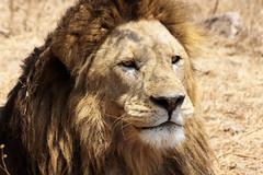 The Lion King - NGorongoro Crater (Nicolas Bousquet) Tags: lion lionking ngorongoro safari gamedrive africa afrique tanzania tanzanie savane savana