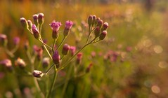 Pink In The Morning (Mobile Macrogropher) Tags: smartphone photography lgg4 macro flowers nature bokeh pink morning flora bali ubud foliage art ngc macroflowerslovers