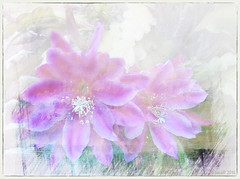 Life is the flower for which love is the honey. (Victor Hugo) (boeckli) Tags: tóta þórunnþorsteinsdóttir textures texturen textur texture cactus flower flowers blumen blüten bloom blossom blossoms blooms plant plants pflanzen pastel pastell painterly serene drawing photoborder kaktus