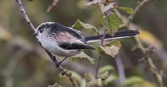 Long Tailed Tit (drbut) Tags: longtailedtit aegithaloscaudatus longtailedtits aegithalidae wildlife nature bird birds tits outdoor