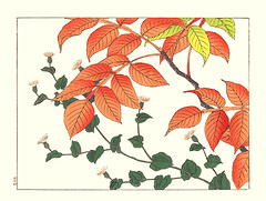 Pertya and Chinese sumac (Japanese Flower and Bird Art) Tags: flower pertya scandens asteraceae chinese sumac rhus chinensis anacardiaceae hoitsu sakai kiitsu suzuki kimei nakano nihonga woodblock picture book japan japanese art readercollection