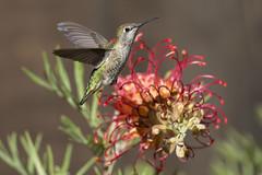 Guarding the Grevillea (Hockey.Lover) Tags: annashummingbird birds myyard backyardbirds backyard